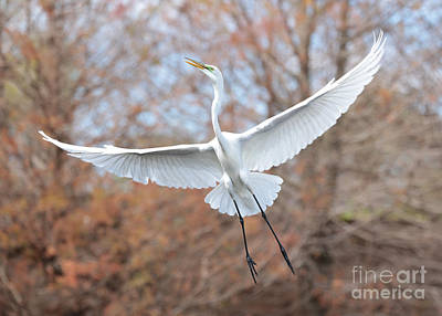 Flying Great Egret In Brown Poster