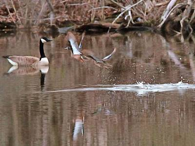 Flying Wood Ducks And Canada Goose Poster