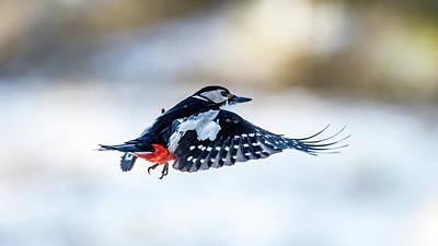 Flying Woodpecker Poster by Torbjorn Swenelius