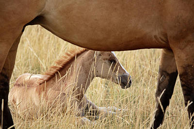 Foal And Mare In A Saskatchewan Pasture Poster by Mark Duffy