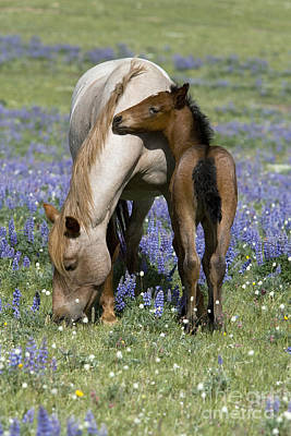 Foal Playing With Its Mother Poster