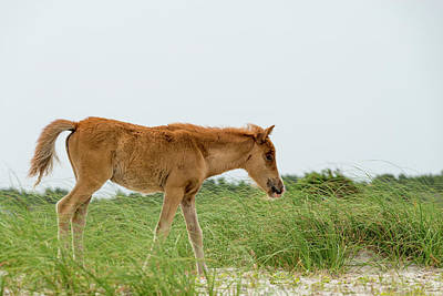 Foal Walking Across The Sand And Grass Poster