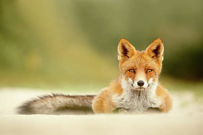 Focused Fox Poster by Roeselien Raimond