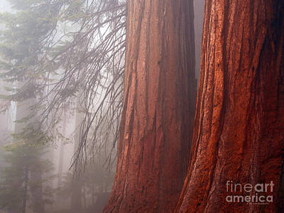 Fog In The Redwood Forest Sequoia National Park Poster