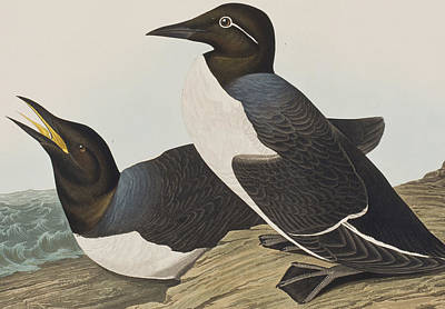Foolish Guillemot Poster by John James Audubon