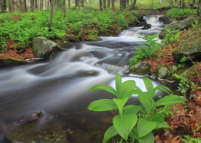 Forest Stream And False Hellabore In Spring Poster by John Burk