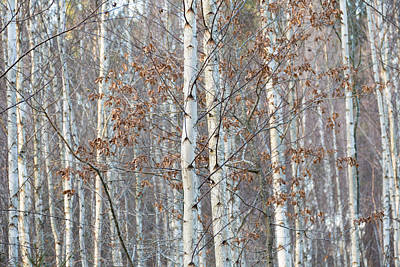 Forest With Birch Trees In December Poster