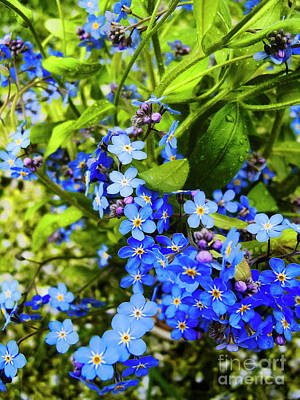 Forget-me-not Flowers Poster by Nat Air Craft