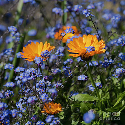 Forget-me-not Marigold Poster by Terri Waters