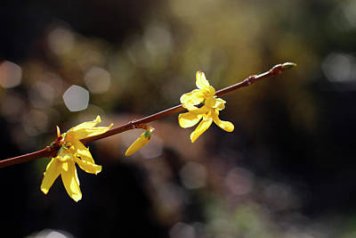 Poster featuring the photograph Forsythia Flowers by Helga Novelli