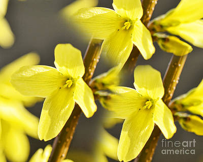 Forsythia Three Poster by Traci Cottingham