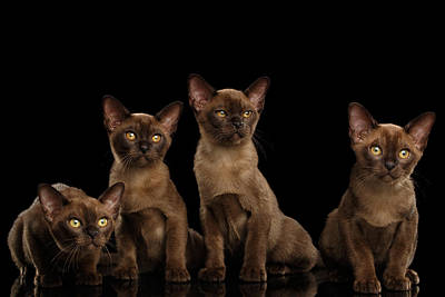 Four Cute Burma Kittens Sitting, Isolated Black Background Poster by Sergey Taran