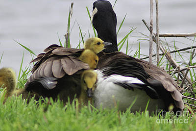 Four Goslings Coming Up For Air Poster