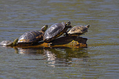 Four Red-eared Slider Turtles Poster