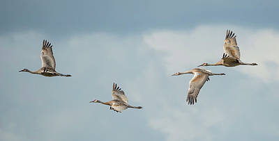 Four Sandhill Cranes In The Storm Poster