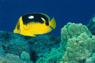 Fourspot Butterflyfish Poster by Ed Robinson - Printscapes