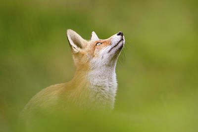 Fox Full Of Hope Poster by Roeselien Raimond