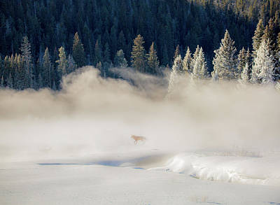 Poster featuring the photograph Fox In The Mist // Yellowstone National Park  by Nicholas Parker