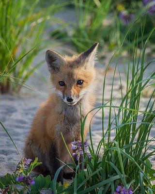 Fox Kit Poster by Bill Wakeley