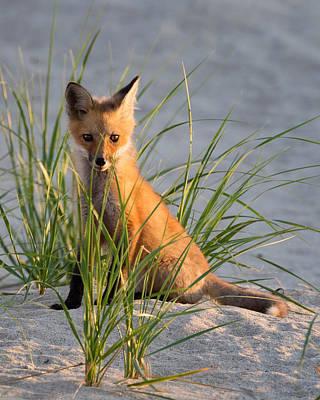 Fox Kit Portrait Poster by Bill Wakeley