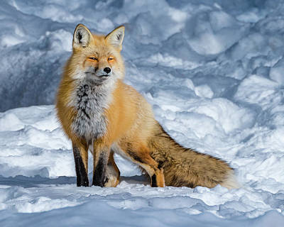 Fox On A Winter Afternoon Poster