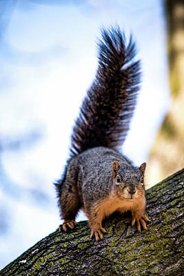 Fox Squirrel On Alert Poster by Onyonet  Photo Studios