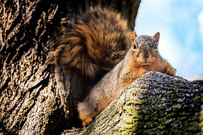 Fox Squirrel Watching Me Poster by Onyonet  Photo Studios