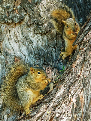 Fox Squirrels Poster by Robert Bales