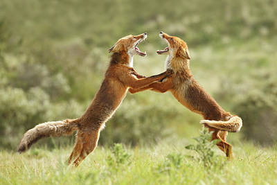 Fox Trot - Red Foxes Fighting Poster by Roeselien Raimond