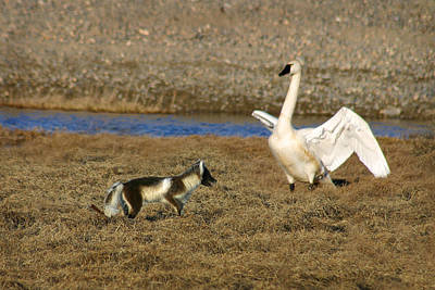 Fox Vs Swan Poster