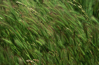 Foxtail Barley - Salisbury Potrero Poster by Soli Deo Gloria Wilderness And Wildlife Photography