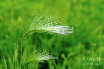 Foxtails Blowing In The Wind Poster