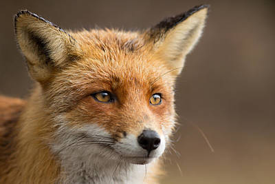 Foxy Face - Red Fox Portrait Poster by Roeselien Raimond