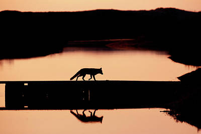 Foxy Nights - Red Fox Silhouette Poster by Roeselien Raimond