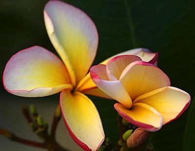 Frangipani Flowers Poster