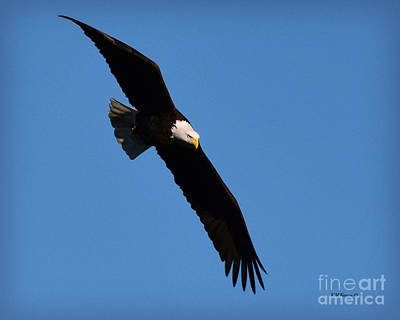 Free Flying Bald Eagle Poster by Kathy M Krause