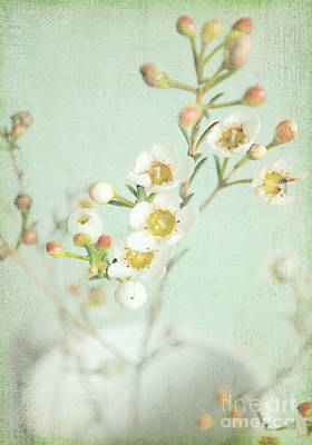 Freesia Blossom Poster by Lyn Randle