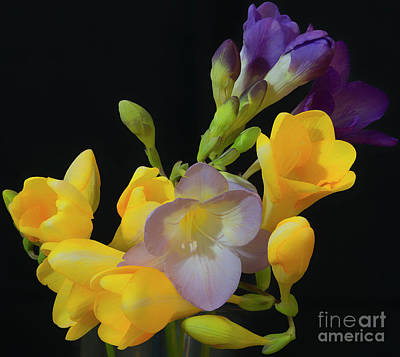 Freesias Softened 9 Poster