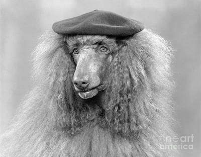 French Poodle Wearing Beret, C.1970s Poster