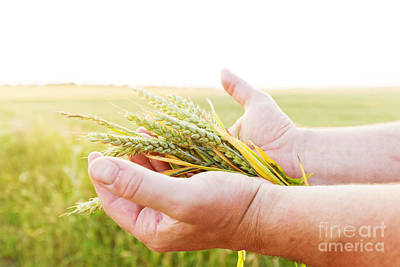 Fresh Green Cereal Grain In Farmer's Hands Poster by Michal Bednarek