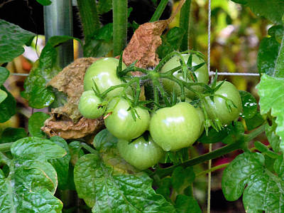 Fresh Green Tomato On Tree 1 Poster