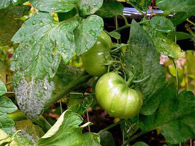 Fresh Green Tomato On Tree 2 Poster