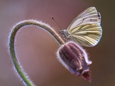 Fresh Pasque Flower And White Butterfly Poster by Jaroslaw Blaminsky