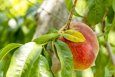 Fresh Peach Hanging In Orchard Poster