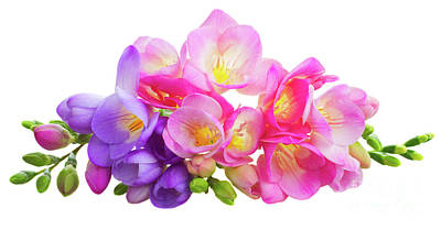 Fresh Pink And Violet Freesia Flowers Poster