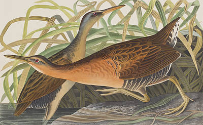 Fresh Water Marsh Hen Poster by John James Audubon