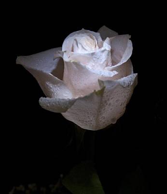 Fresh White Rose Poster