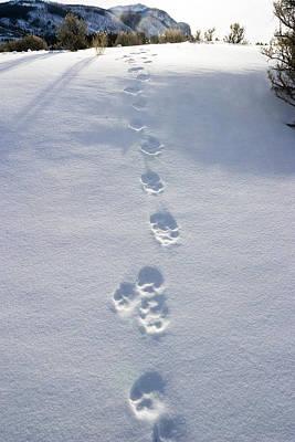 Fresh Wolf Tracks In Yellowstone Poster