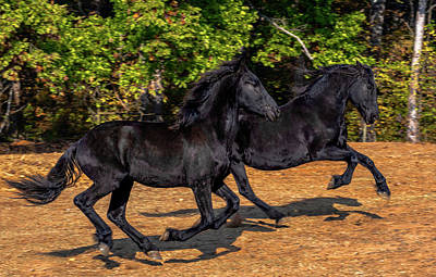 Friesian Frolic Poster by Eric Albright