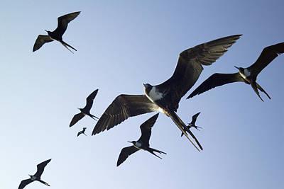 Frigate Birds In Flight Poster by Peter Scoones
